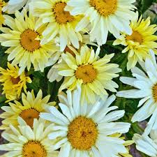 yellow flowers proven winners amazing daisies banana shasta