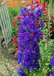 colorful flower gardens delphiniums plant care and collection of varieties garden org