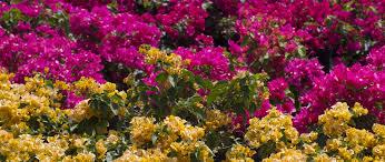 how to care for your bougainvilleas casaplanta garden center