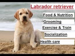 how to take care of a labrador retriever labrador puppy youtube