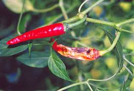 Green Chilli Plant Diseases - anthracnose on chili pepper