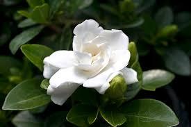 Gardenias by Gardenia U0027crown Jewel U0027 Planthaven International