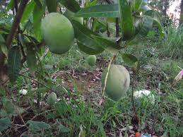 wollongong botanic gardens forum tropical fruit trees successfuly grown in sydney wollongong
