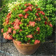 kedarnath ornamental plant kedarnath ornamental plant exporter