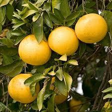 ruby red grapefruit indoor grapefruit citrus trees for sale