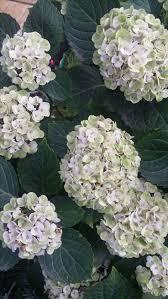 sweet viburnum 200mm pot viburnum 343 best hortensien images on pinterest hydrangeas flowers and