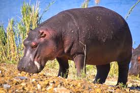 hippopotamus for kids kids coloring europe travel guides com