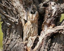owl blends perfectly into a tree daily mail