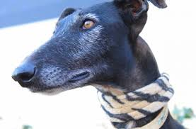 afghan hounds for adoption sighthound rescue galgo rescue borzoi rescue afghan hound rescue