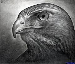 drawn hawk pencil drawing pencil and in color drawn hawk pencil