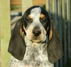 bluetick coonhound nz 201 best black u0026 tan coonhound images on pinterest photos photo
