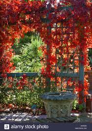 photos de pergola parthenocissus quinquefolia over trellis archway pergola virginian