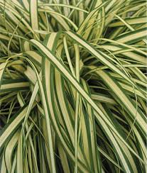 perennial grasses archives county nurseries inc