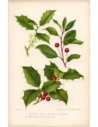 victorian christmas clip art holly with bright red berries