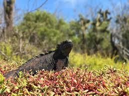 Iguana Island Santa Cruz Island Dragon U0027s Hill Lindblad Expeditions
