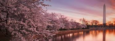 cherry blossoms in washington dc usa guided tours dc