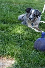 double j ranch australian shepherds taj mutthall dog diary march 2010