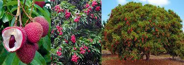 Tropical Fragrant Plants - toptropicals com rare plants for home and garden