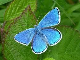 Blue And Green Butterfly - uk butterflies adonis blue polyommatus bellargus