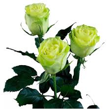 Long Stem Roses Long Stem Roses Wholesale Bulk Long Stem Roses Long Stem Roses