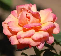 Peach Roses Types Of Roses Pictures Presenting A Variety Of Colors