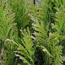 chamaecyparis lawsoniana broomhill gold conifers