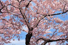 cherry tree all about cherry trees
