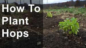 how to plant hops with time lapse youtube