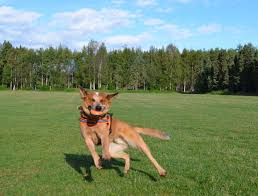 belgian shepherd 101 australian cattle dog the pongo experience