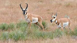 New Mexico wildlife images Antelope private lands new mexico department of game fish jpg
