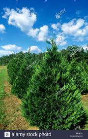 agriculture leyland cypress trees growing at a christmas tree