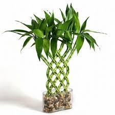 lucky bamboo dracaena sanderiana indoor house plants