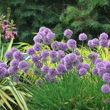 allium medusa pp28701 walters gardens inc
