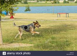 bluetick coonhound forums bluetick coonhound stock photos u0026 bluetick coonhound stock images