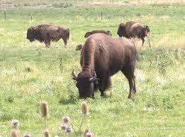 Bison Connect Department Of Interior Zinke Reverses On National Bison Range Management Kbzk Com