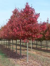 acer rubrum fairview lipstick maple maple tree blerick