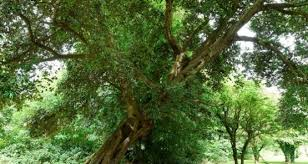 northern ireland tree comes sixth in european contest