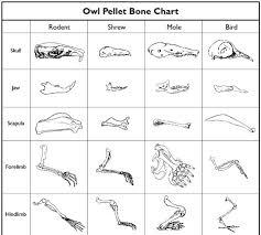 owl pellet worksheet free worksheets library download and print