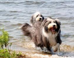 bearded collie and border collie mix bearded collies