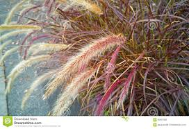fall ornamental grass stock image image of plant garden 60607983