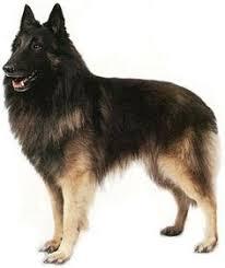 belgian sheepdog tattoo corsini notorious ch high clearings harley x ch corsini finesse