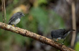 new zealand robin toutouwai land birds native animals