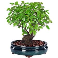 types of bonsai trees how to grow trees for sale taking care of