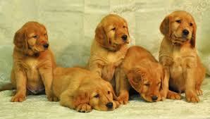 current litters white golden retriever puppies