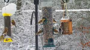 izzy u0027s winter front yard bird feeding frenzy youtube