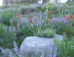 calif native plants native plants terra ferma landscapes