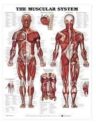 Cartoon Human Anatomy Best 25 Muscular System Ideas On Pinterest Human Muscular