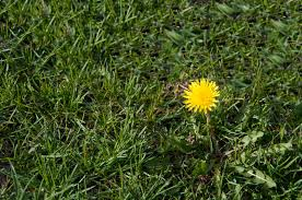wild greens common edible weeds in your yard