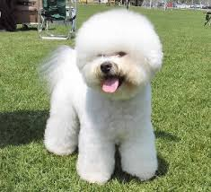 bichon frise long hair bichon frise bichon a poil frise dog breed guide information and