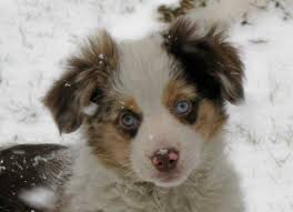 australian shepherd with blue eyes toy story aussies puppy colors